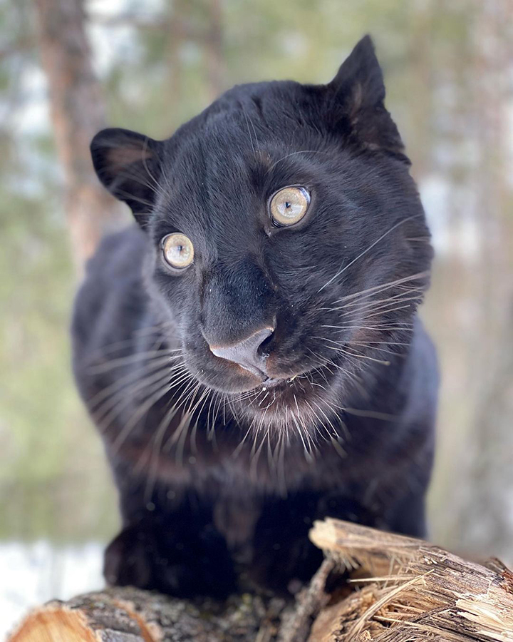 Stunning visuals of a black panther playing in the snowy woods of Siberia shared by owner